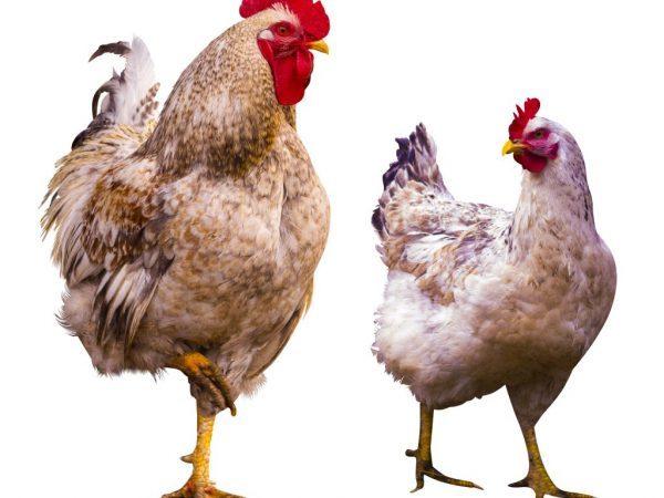 Болезни ног у кур и их лечение: симптомы, причины и лечение