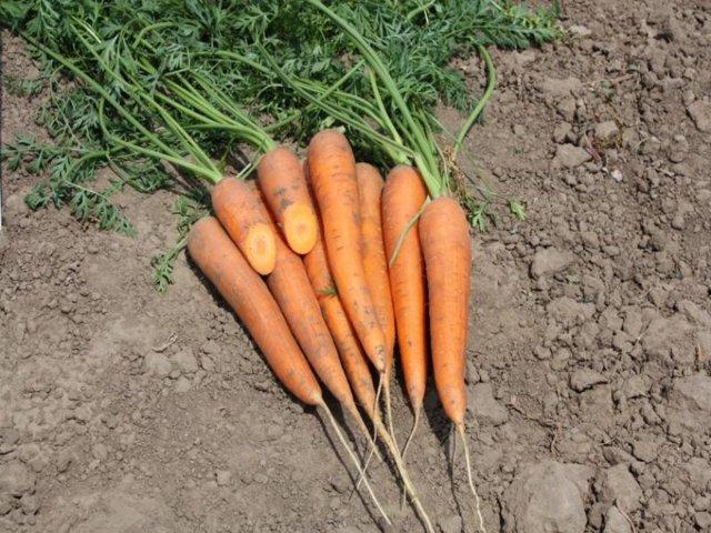 Лучшие сорта моркови для Подмосковья: характеристики, фото и выращивание
