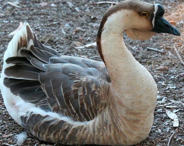 Лучшие породы гусей для разведения: названия, описания, достоинства и недостатки
