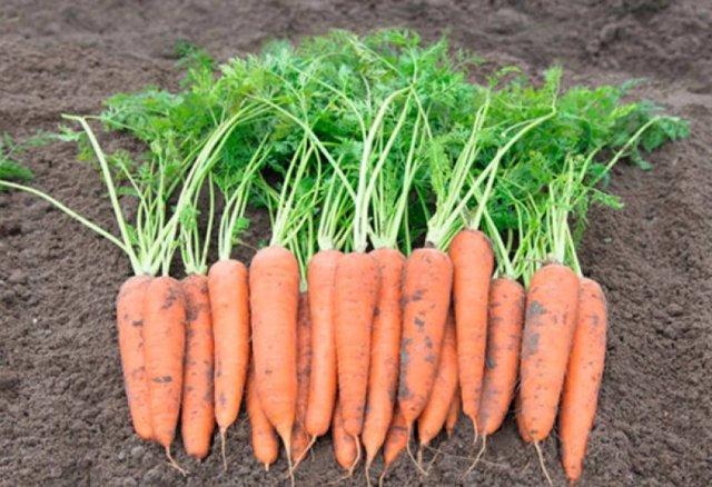 Фиолетовая морковь: характеристики, фото, сорта, выращивание, отзывы огородников