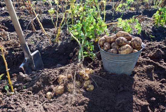 Сорт картофеля Вишенка: история, описание, особенности, посадка, уход, сбор и хранение урожая