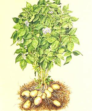 Картошка в мешках: посадка, выращивание, уход, сбор урожая, советы, плюсы и минусы