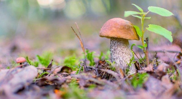 Грибы подберезовики: описание, съедобен или нет, где растет, как выращивать?