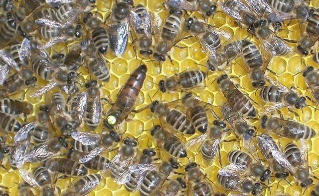 Размножение пчел: естественным и искусственным путём