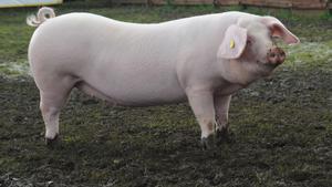 Породы свиней с описание и фото. Обзор их особенностей и характеристик