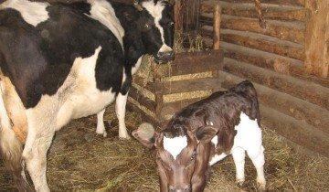 Содержание коровы в личном хозяйстве: правила, условия, питание и уход