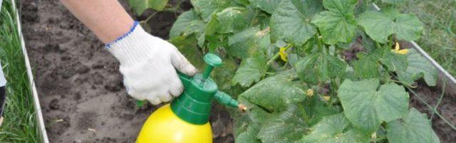 Подкормка огурцов: когда и чем удобрять в открытом и закрытом грунте, ответы вопросы
