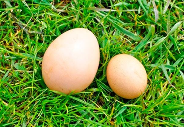 Почему куры несут маленькие яйца и что делать?