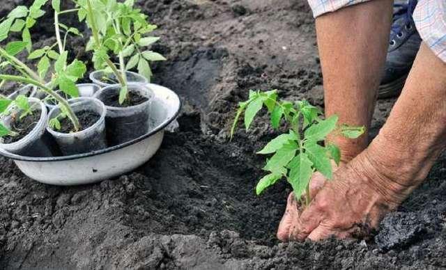 Томат Дамский угодник: описание сорта, способы выращивания, фото, отзывы