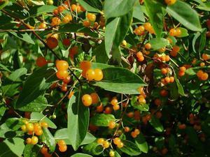 Жимолость татарская: описание, фото, сорта, выращивание, отзывы