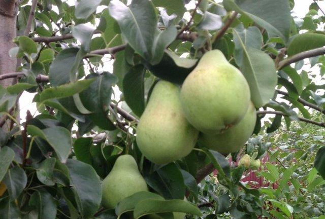 Груша Просто Мария: описание сорта с фото, отзывы, особенности выращивания