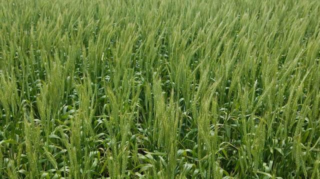 Болезни и вредители пшеницы: описание, фото, способы защиты