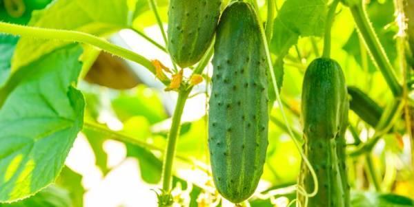 Самые урожайные сорта огурцов для открытого грунта: обзор лучших культур