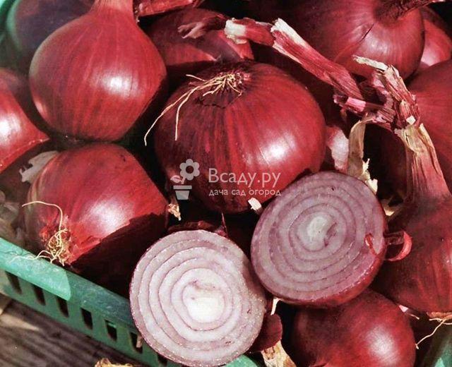 Красный лук: характеристики, сорта с фото, посадка и уход