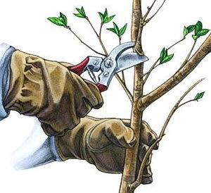 Обрезка яблони осенью: сроки, инструкции и советы для новичков