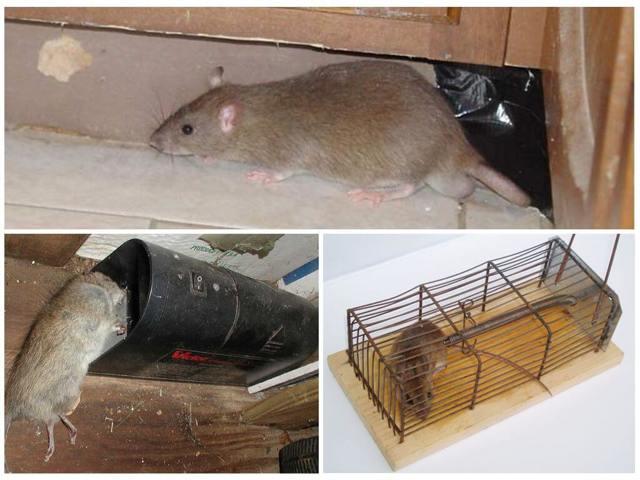 Как избавиться от крыс в курятнике? Эффективные способы профилактики