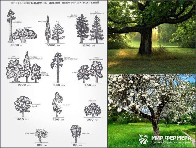 Сколько живут деревья: продолжительность жизни лиственных, хвойных и фруктовых деревьев