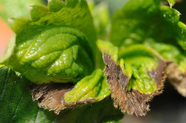 Клубника: посадка и уход, размножение, борьба с болезнями и вредителями