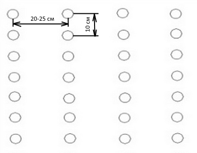 Свекла Цилиндра: описание сорта, фото, способы и сроки посадки