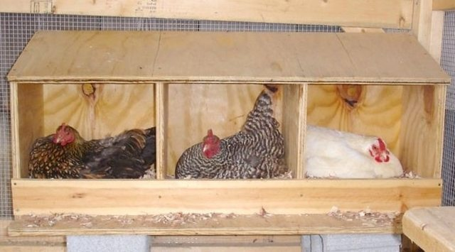 Гнезда для цесарок: требования, содержание птицы, изготовление своими руками