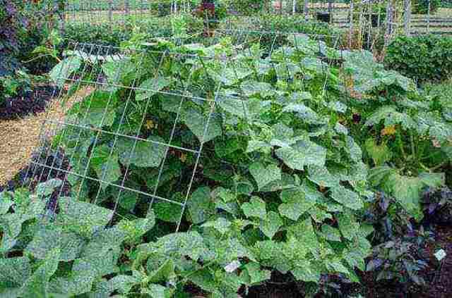 Огурцы Пучковое великолепие: особенности сорта, правила посадки и ухода, отзывы огородников