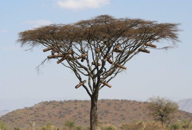 Африканские (африканизированные) пчелы: описание, фото, опасность укусов, места обитания