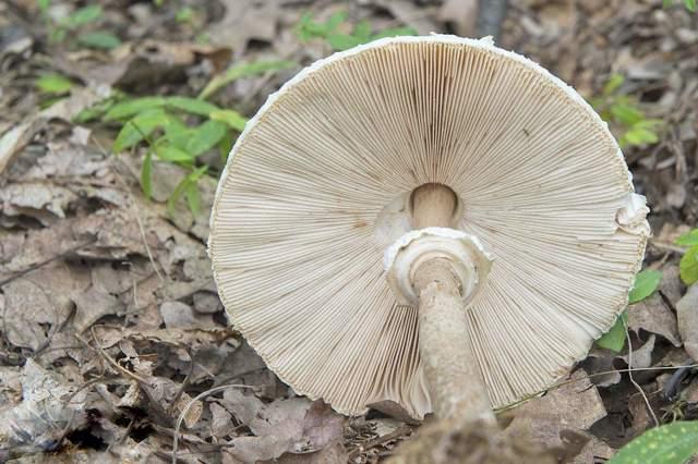 Грибы-зонтики: описание, съедобен или нет, где растет, какая у него польза и применение?