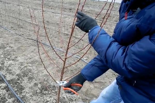 Обрезка абрикоса: время и технологии обрезки, формировка кроны и возможные ошибки