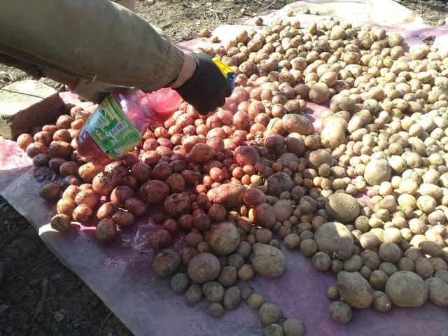 Когда сажать картофель в открытый грунт: по Лунному календарю, в разных регионах