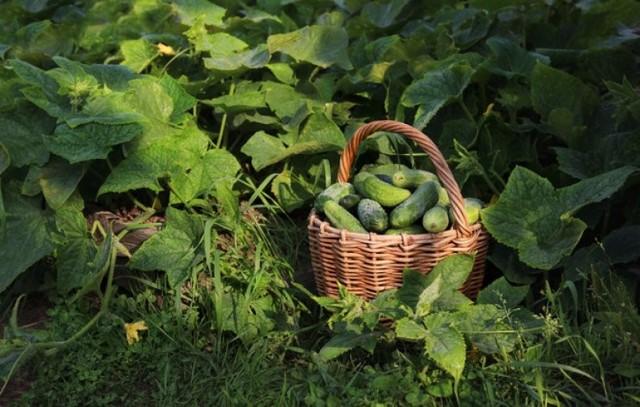 Огурец Меренга: описание сорта с фото, правила посадки и ухода за кустом, сбор урожая