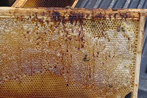 Нозематоз пчел: причины, симптомы, лечение, профилактика