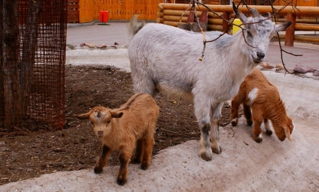 Молочные породы коз: характеристики, фото и сравнение удойности