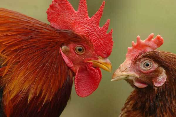 Как петух оплодотворяет курицу: описание процесса спаривания и оплодотворение яйцеклеток