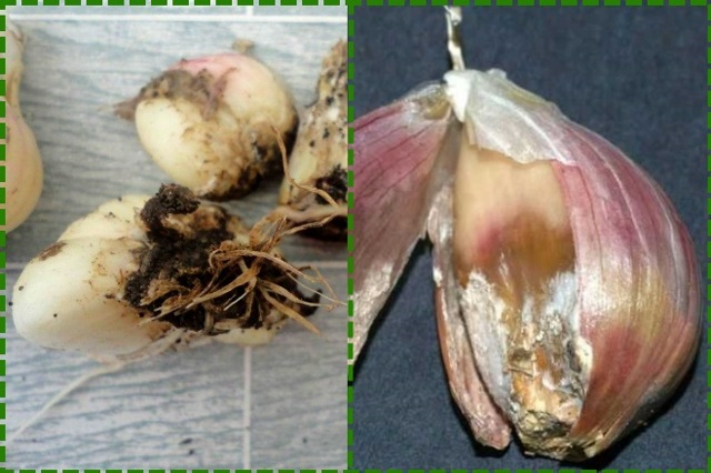 Чеснок богатырь: описание озимого сорта с фото