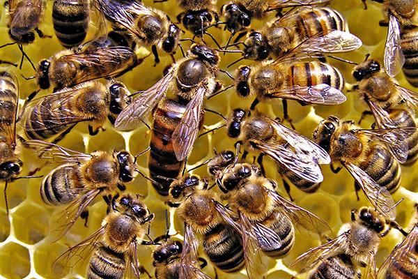 Как пчелы делают мед: зачем и сколько собирают?