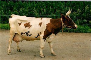 Айрширская порода коров: характеристика, фото, уход, содержание и разведение
