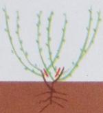 Жимолость съедобная: посадка, выращивание, уход, размножение и сбор урожая