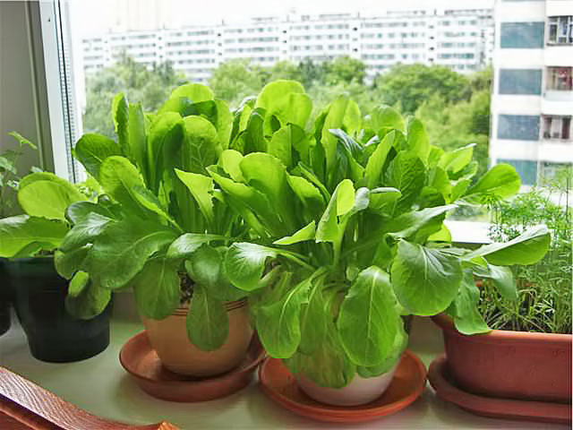 Выращивание шпината на подоконнике из семян: сорта, посев, уход