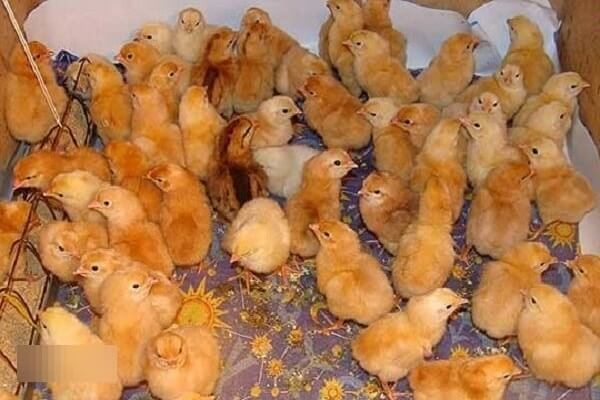 Царскосельская порода кур: описание, фото, содержание и уход, отзывы