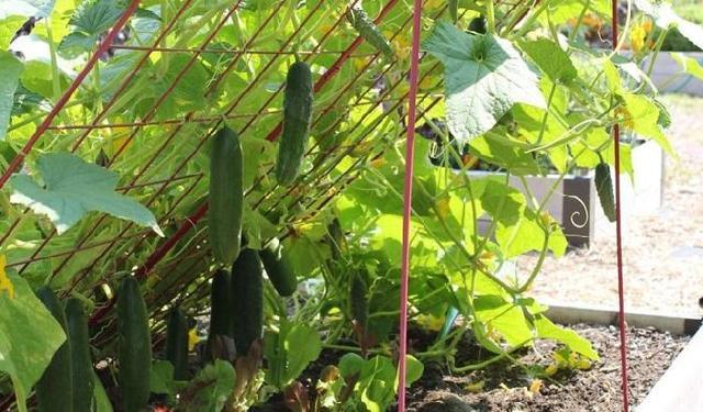 Огурец Изумрудный поток: описание, фото, правила выращивания, сбор урожая, плюсы и минусы
