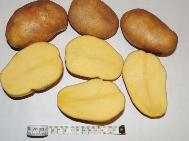 Картофель Тулеевский: описание сорта, как сажать картофель, уход и отзывы