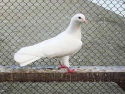Бакинские бойные голуби: описание породы с фото, виды, уход с содержанием