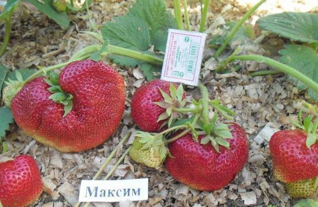 Клубника Максим: описание сорта, фото, отзывы, правила по уходу и размножению