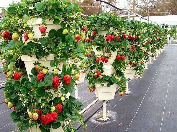 Подкормка винограда весной: обзор удобрений и методов подкормки