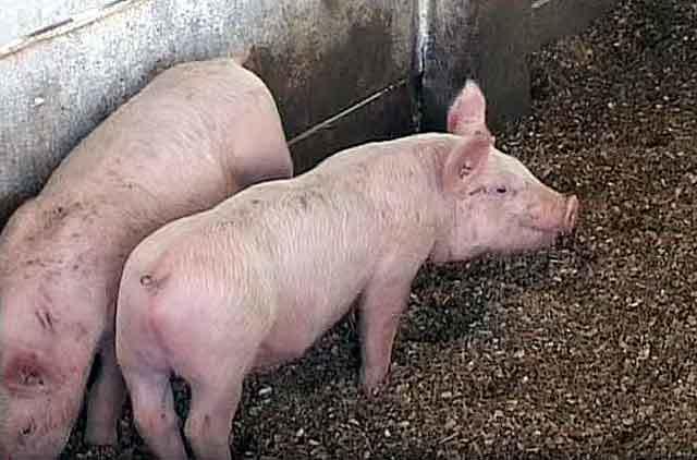 Забой свиней в домашних условиях: инструкция, методы, полезные советы