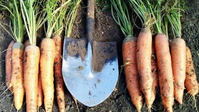 Когда и как сажать морковь: сроки, виды посадок, уход и сбор урожая
