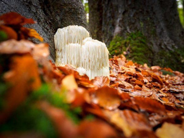 Гриб ежовик: описание, фото, виды, где и когда растёт, как выращивать?