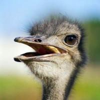 Болезни страусов: симптомы, лечение и профилактика