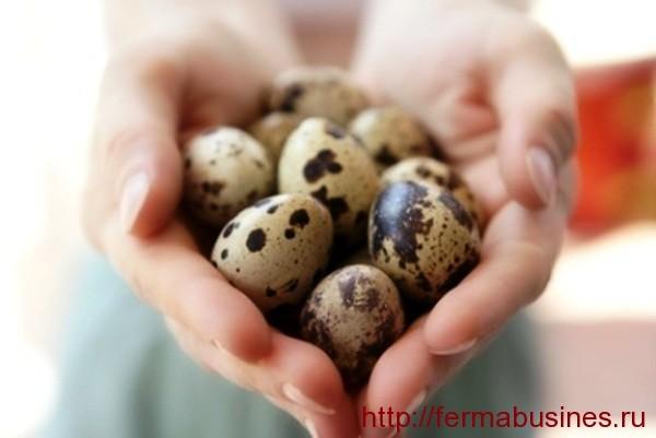 Как развести перепелок-несушек? Способы повышения яйценоскости