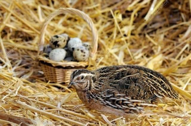 Сколько яиц несет перепелка в день, месяц, год? От чего зависит яйценоскость перепела?